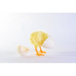 フリー写真, 動物, 鳥類, 鶏(ニワトリ), ひよこ(ヒヨコ), 卵(タマゴ), 雛(ヒナ), 白背景