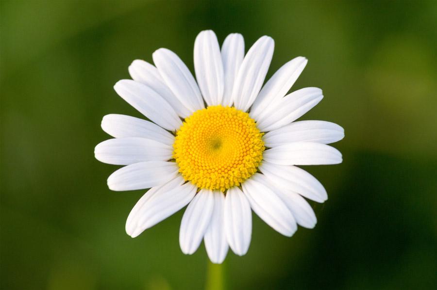 フリー写真 一輪のヒナギクの花