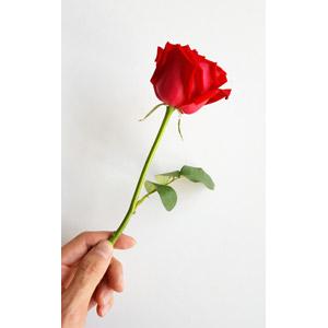 フリー写真, 人体, 手, 白背景, 植物, 花, 薔薇(バラ)