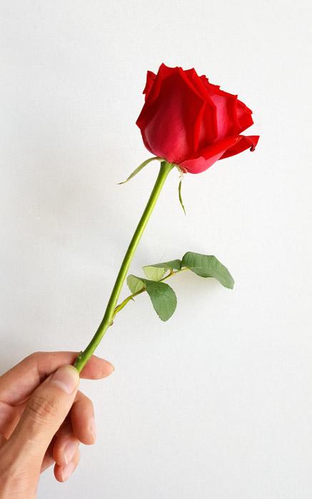 フリー写真 手に持つ一輪の薔薇
