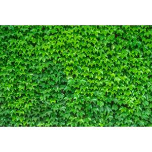 フリー写真, 植物, 蔦(ツタ), 葉っぱ, 緑色(グリーン)