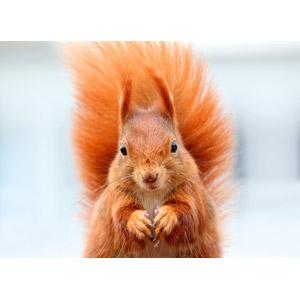 フリー写真, 動物, 哺乳類, 栗鼠(リス)