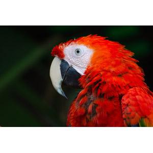 フリー写真, 動物, 鳥類, 鳥(トリ), インコ, ベニコンゴウインコ