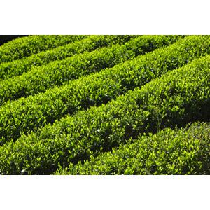 フリー写真, 風景, 畑, お茶, 作物, 緑色(グリーン), 日本の風景, 静岡県