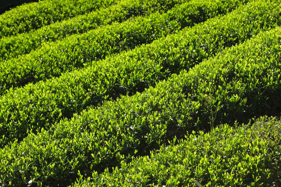 フリー写真 静岡の茶畑の風景
