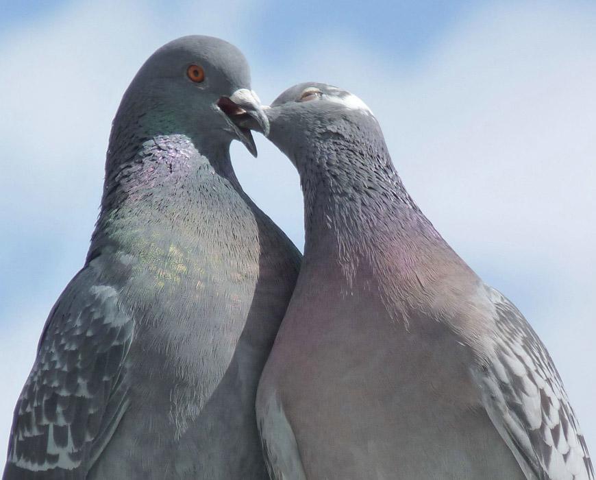 フリー写真 ラブラブな鳩のカップル