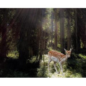 フリー写真, フォトレタッチ, 動物, 哺乳類, 鹿(シカ), 子供(動物), 森林, 太陽光(日光), 木漏れ日