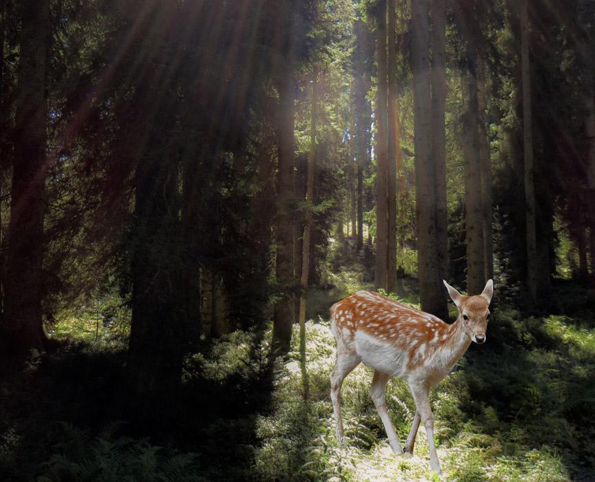 フリー写真 森の中の鹿