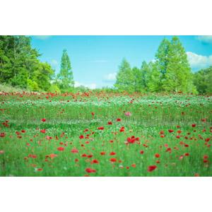 フリー写真, 風景, 自然, 草むら, 植物, 花, 花畑, ヒナゲシ(ポピー), 赤色の花
