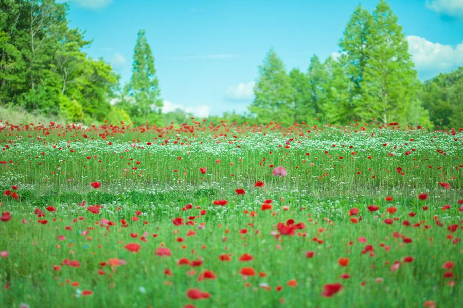 フリー写真 シャーレイポピーの花畑
