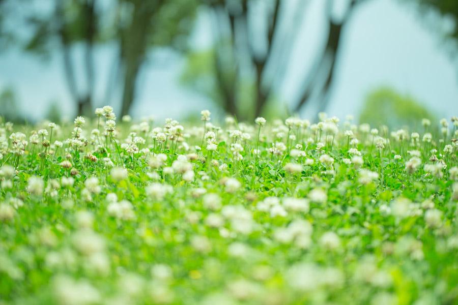 フリー写真 シロツメクサの白い花