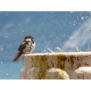 フリー写真, 動物, 鳥類, 鳥(トリ), 雀(スズメ), 水浴び(動物)