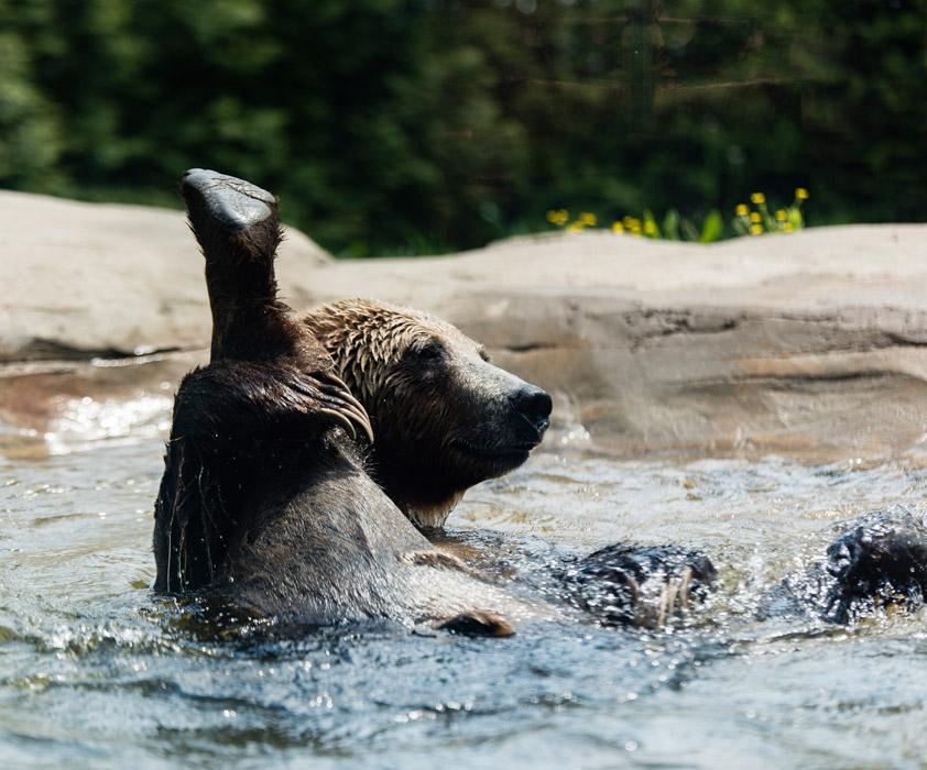 フリー写真 水浴びしながら股を開くクマ