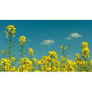 フリー写真, 風景, 植物, 花, 菜の花(アブラナ), 黄色の花, 春, 花畑, 青空