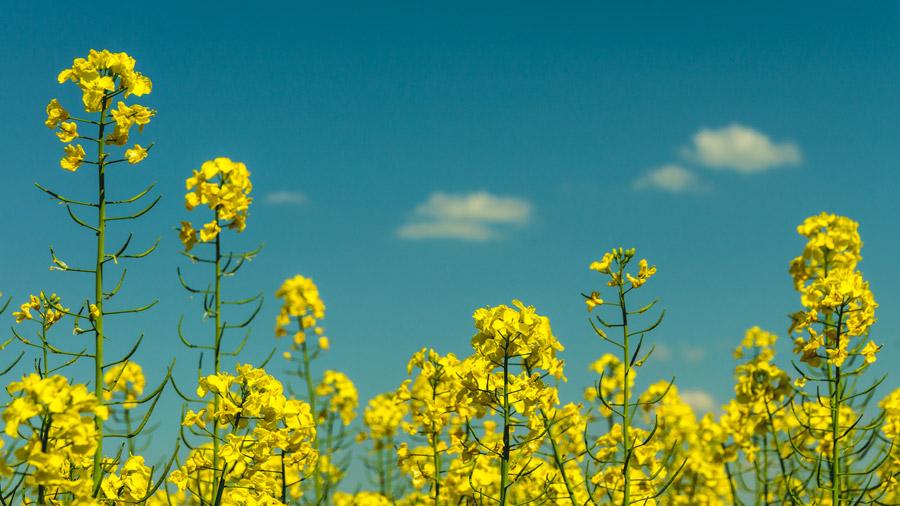 フリー写真 青空と菜の花
