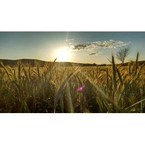 フリー写真, 風景, 畑, 夕暮れ(夕方), 夕日, 穀物, 作物, 麦(ムギ)