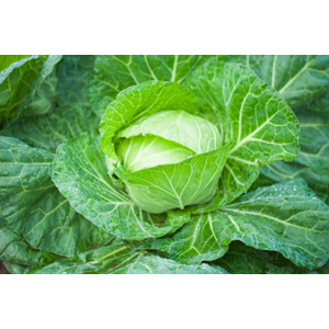 フリー写真, 食べ物(食料), 野菜, キャベツ, 作物, 緑色(グリーン)