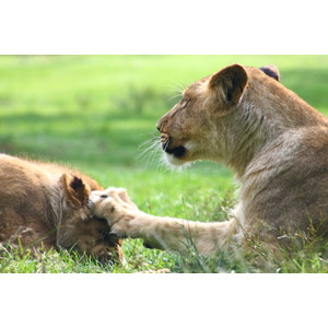 フリー写真, 動物, 哺乳類, ライオン, 親子(動物), 子供(動物), 怒る(動物), パンチ(動物)