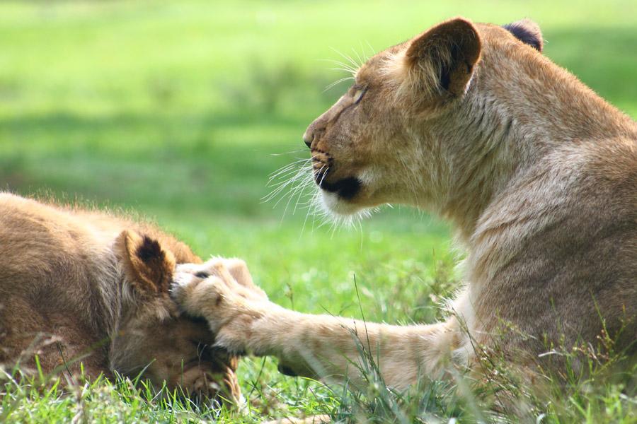 フリー写真 母ライオンに頭を叩かれる子ライオン