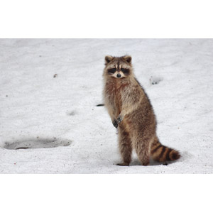 フリー写真, 動物, 哺乳類, アライグマ, 立つ(動物), 雪