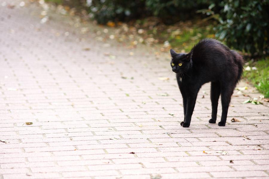 フリー写真 威嚇して毛を逆立てる黒猫