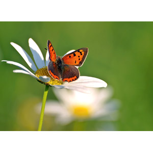 フリー写真, 動物, 昆虫, 蝶(チョウ), ベニシジミ