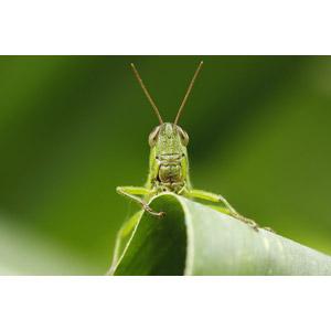 フリー写真, 動物, 昆虫, バッタ, 動物の顔, 緑色(グリーン)