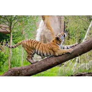 フリー写真, 動物, 哺乳類, 虎(トラ), 気持ちいい(動物)