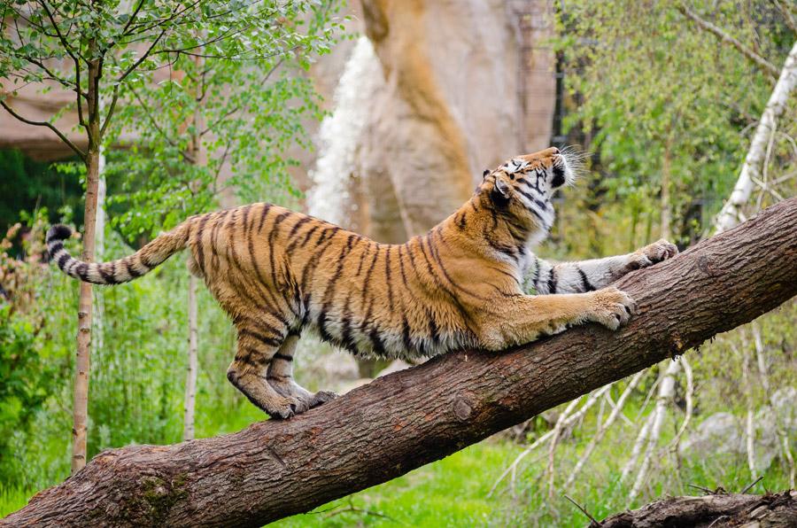 フリー写真 爪を研ぐトラ