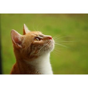 フリー写真, 動物, 哺乳類, 猫(ネコ), 茶白猫, 見上げる(動物)