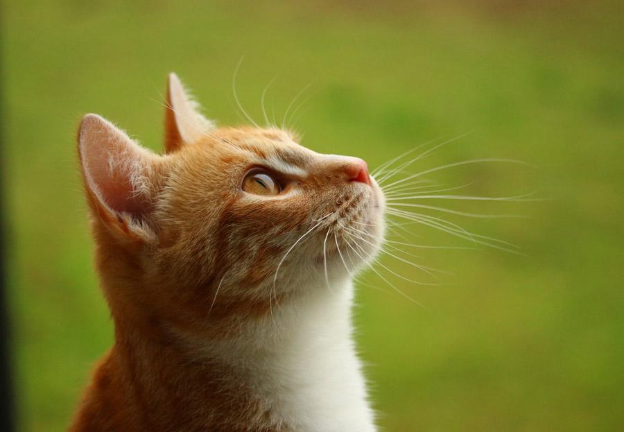 フリー写真 上の方を見上げている猫