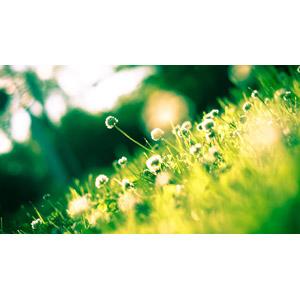 フリー写真, 植物, 雑草, クローバー(シロツメクサ)