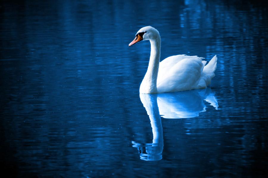 フリー写真 湖に浮かぶ白鳥
