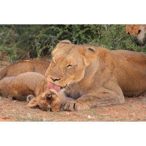 フリー写真, 動物, 哺乳類, ライオン, 親子(動物), 舐める(動物), 気持ちいい(動物)