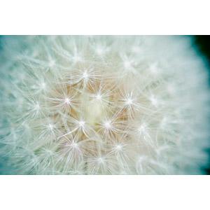 フリー写真, 植物, 綿毛, 蒲公英(タンポポ)