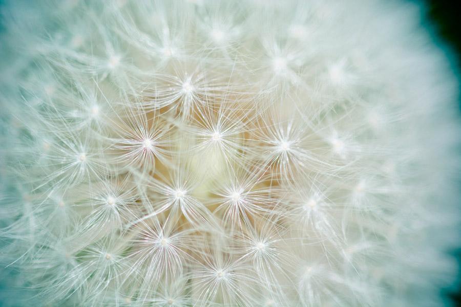 フリー写真 タンポポの綿毛のアップ