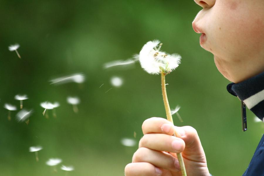 フリー写真 たんぽぽの綿毛を吹く子供