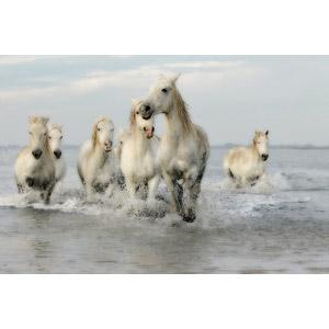 フリー写真, 動物, 哺乳類, 馬(ウマ), 白馬, 水しぶき, 群れ, 走る(動物)