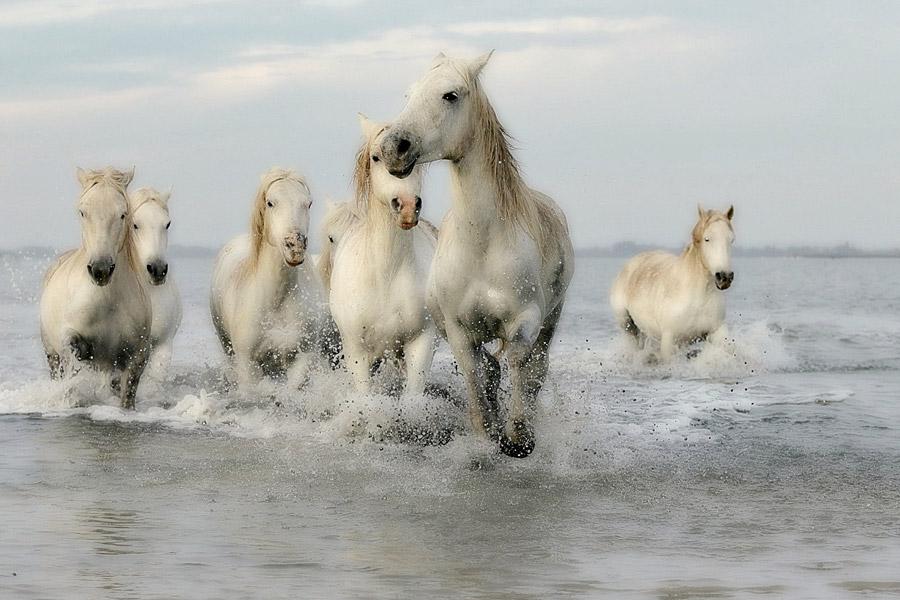 フリー写真 海の中を駆ける白馬の群れ