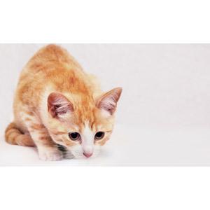 フリー写真, 動物, 哺乳類, 猫(ネコ), 茶白猫, 白背景