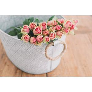 フリー写真, 植物, 花, 薔薇(バラ), ピンク色の花, 蕾(つぼみ)