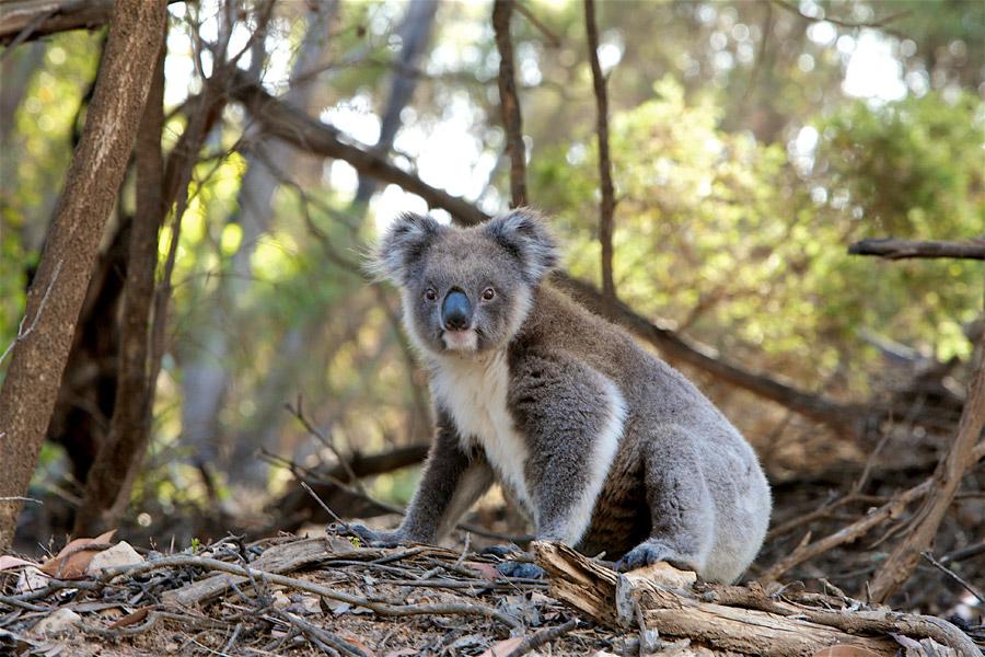 フリー写真 こちらを見ているコアラ