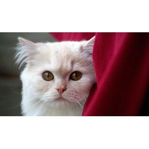フリー写真, 動物, 哺乳類, 猫(ネコ), 動物の顔