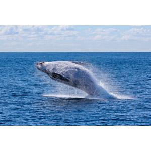 フリー写真, 動物, 哺乳類, 鯨(クジラ), 跳ぶ(ジャンプ), 海