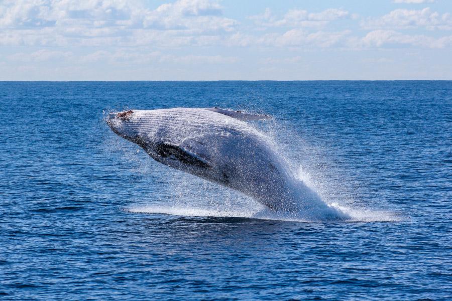 フリー写真 ザトウクジラのブリーチング