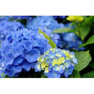 フリー写真, 植物, 花, 紫陽花(アジサイ), 青色の花, 6月, 梅雨