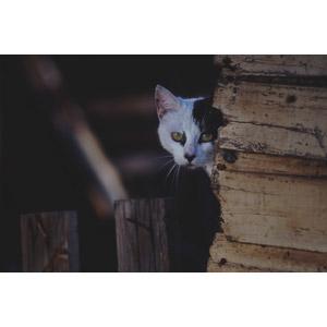 フリー写真, 動物, 哺乳類, 猫(ネコ), 白黒猫, 隠れる(動物), 覗く(動物)