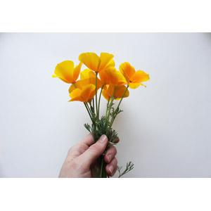 フリー写真, 人体, 手, 白背景, 人と花, 植物, 花, ハナビシソウ, 黄色の花, 花束
