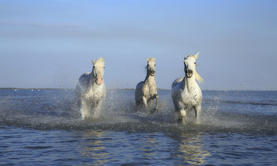 フリー写真 浅瀬の海を走る三匹の白馬