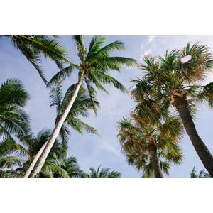 フリー写真, 風景, 自然, 樹木, 椰子(ヤシ), アメリカの風景, フロリダ州